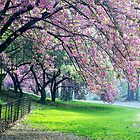 Cherry Blossoms, Central Park by Alberto  DeJesus