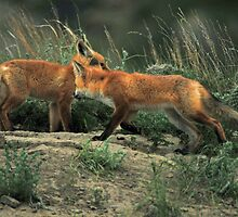 Foxy Greeting, Montana fox photo by Donna Ridgway by Donna Ridgway
