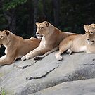 Three Lionesses by Liz Davidson