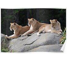 Three Lionesses Poster
