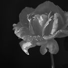 Sunlite Rose Black and White by Sunshinesmile83