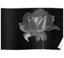 Sunlite Rose Black and White Poster