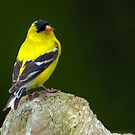 American Goldfinch: Prince of Songbirds  by David Friederich