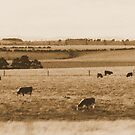 Grazing Cows - Victoria, Australia by BreeDanielle