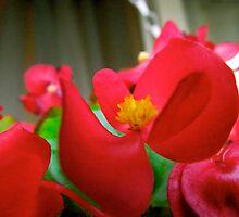 Hanging Begonias by hudsont2207