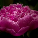 Bright Pink Peony by Megan Noble
