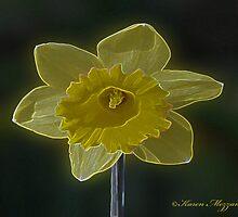Daffodil Flower by Karen Mezzano