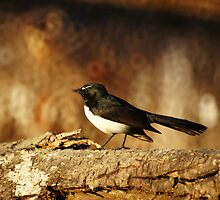 Willy Wagtail by Tanya Rossi