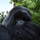 Silverback Gorilla, Hirwa Group, Rwanda, East Africa  by Carole-Anne
