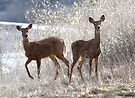 White-tailed Deer by Alex Preiss