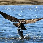 Osprey Fishing by cs-cookie