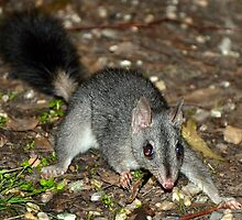 Brush-tailed Phascogale (Tuan) by Ern Mainka