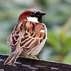 house sparrow by bigjoeman07