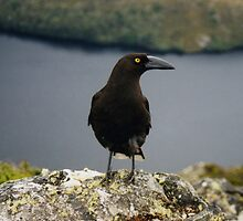 Currawong, Cradle Mountain, Tasmania by Jane McDougall