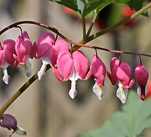 Bleeding Heart by dilouise