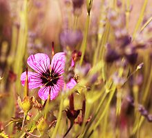Traces of Lavender by bared