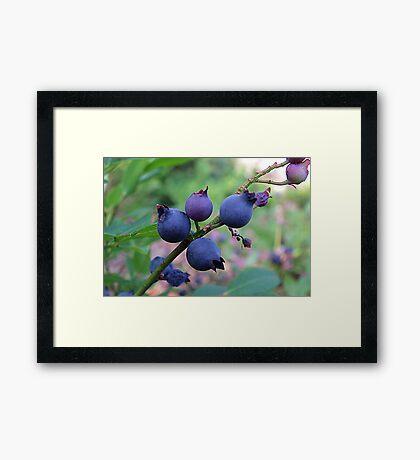 The Wild Blueberry Framed Print