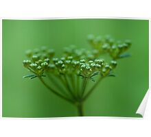 Parsley Seed Poster