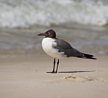 Laughing Gull  by Sandy Keeton