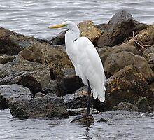 Great Egret by Sandy Keeton