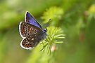 Common Blue - Polyommatus icarus by Lepidoptera