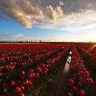Tulips Sunset by mikereid