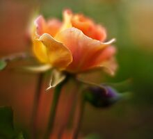 Brass Band Rose by mikereid