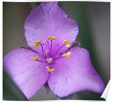 Purple Spiderwort  Poster