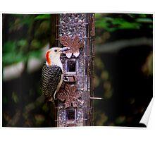 Red Bellied Woodpecker - Female  Poster