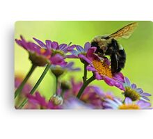 Bumble Bee and Beautiful Marguerite Daisies Canvas Print