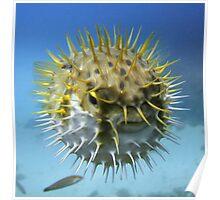 Globe Fish, Macedon Wreck, Rottnest Poster