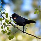 Red-winged Blackbird, male in an aspen tree by amontanaview