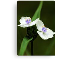 Alba Spiderwort -- In The Shade Garden Canvas Print