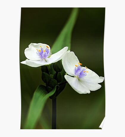 Alba Spiderwort -- In The Shade Garden Poster