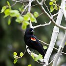 Red-winged Blackbird, male in an aspen tree 2 by amontanaview