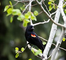 Red-winged Blackbird, male in an aspen tree 2 by amontanaview