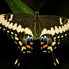 Butterfly by Michelle Callahan
