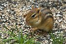 Chipmunk Heaven (Under the Bird Feeder) by Gene Walls