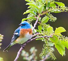 Male Lazuli Bunting by Mikhail Lenitsyn