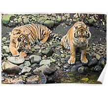 Two Tiger Cubs Poster