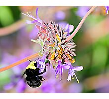 Sweet Garden Bumble Bee  •  Maxwell House Photographic Print