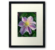 Clematis Flower Framed Print