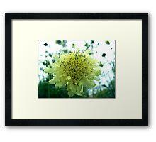 Cephalaria Framed Print