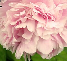 Peony Petals by Rewards4life