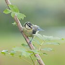 Blue tit ~ fledgeling by Margaret S Sweeny