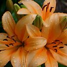Lily Drops by Karen K Smith