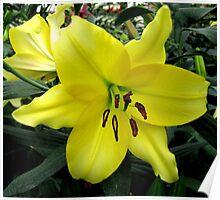 Belladonna Oriental Lily Poster
