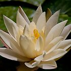 Water Lily White by Tom Allen