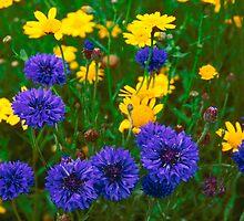 Blue Cornflowers in a Devon Meadow, U. K. by JohnINPIX