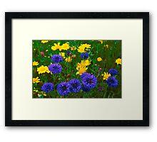 Blue Cornflowers in a Devon Meadow, U. K. Framed Print